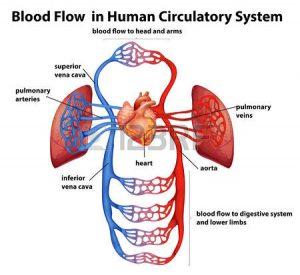 الدهون والدورة الدموية