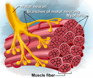 Neuromuscular Adaptations